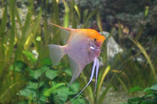Angelfish Large : Angelfish How Big