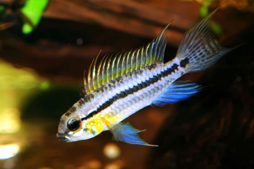 Frisby Aquatics Community Tropical Fish
