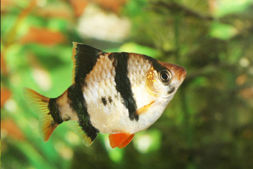 Frisby aquatics community tropical fish for Tiger barb fish