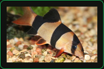 Clown Loaches